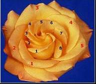 Flower showing the Fibonacci sequence