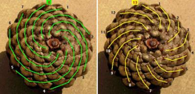 Pinecone showing Fibonancci numbers